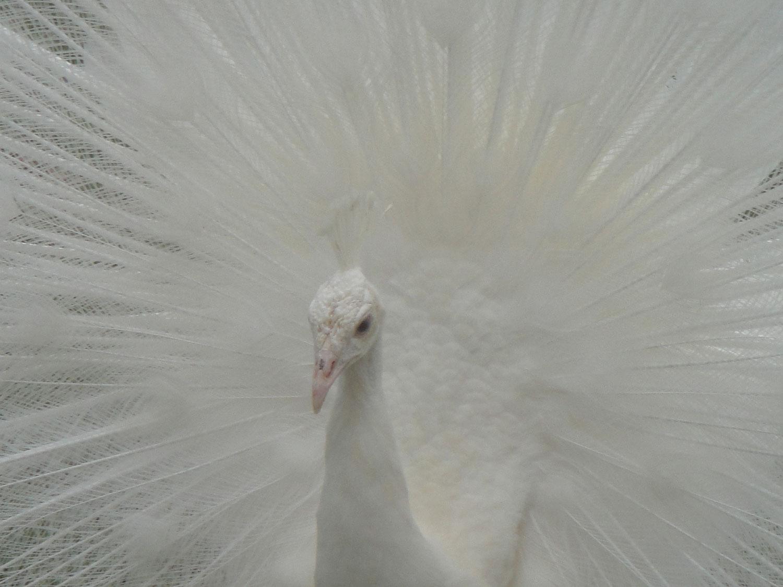 peacock_0